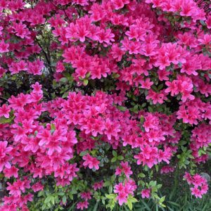 The azaleas are going crazy these days